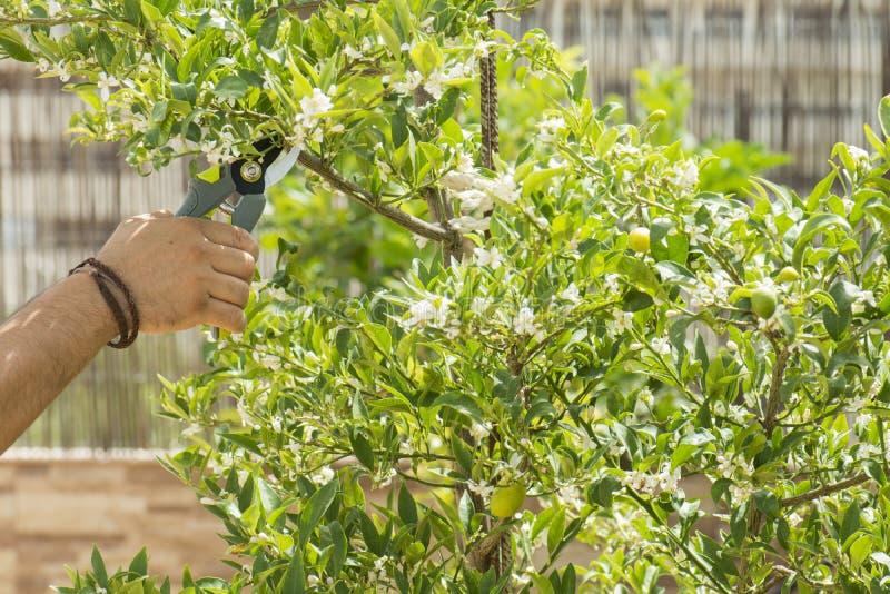 kwiatu ogrodnictwa ręki target6_0_ różanych strzyżenia zdjęcia stock