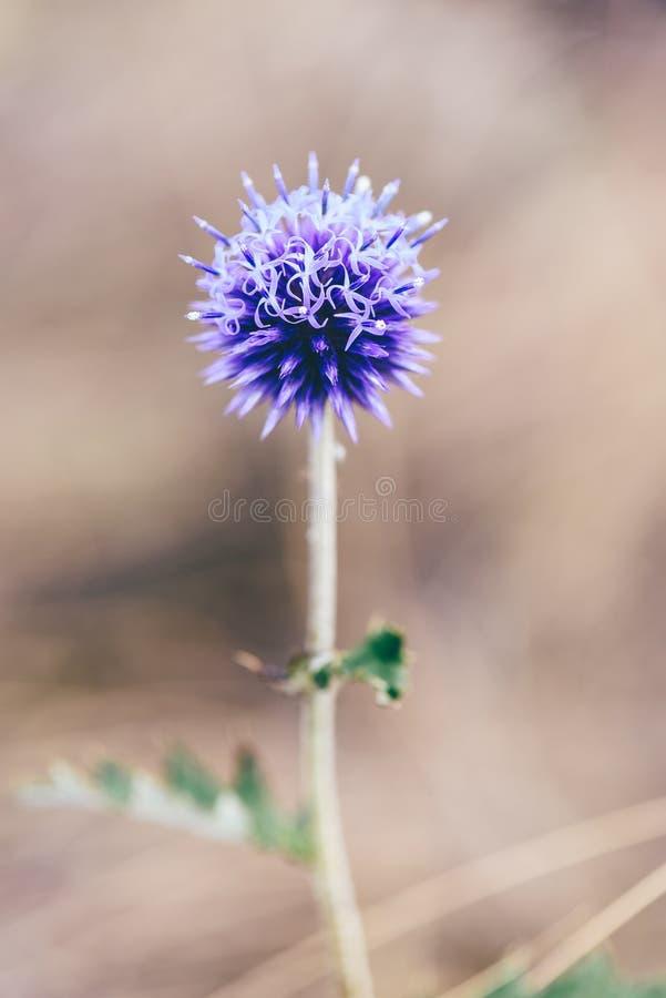 Kwiatu pączek fiołkowy kula ziemska oset zdjęcia royalty free