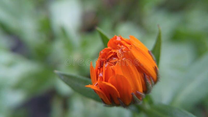 Kwiatu pączek w rosa kroplach w górę fotografia stock