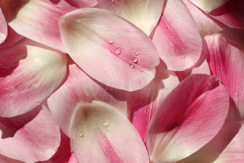 Kwiatu płatka tło fotografia stock