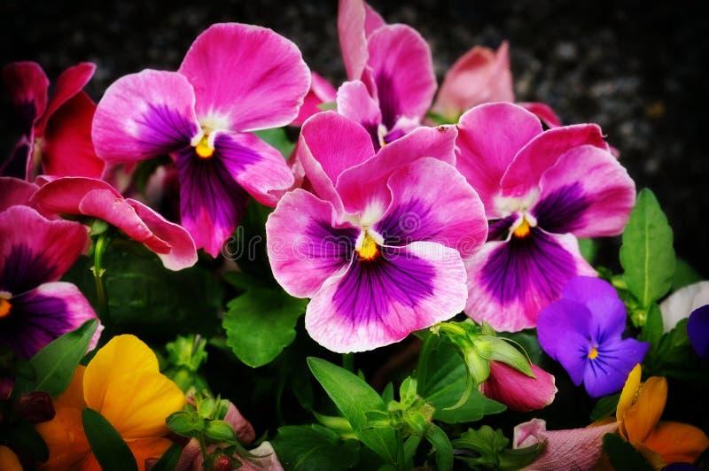 kwiatu pansy obraz stock