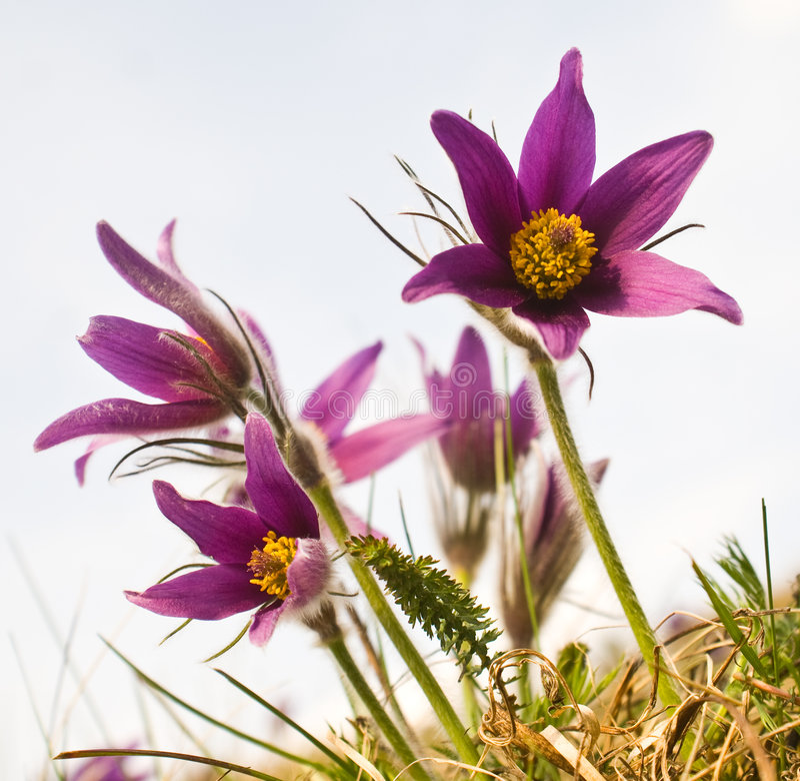 kwiatu pasque zdjęcie royalty free
