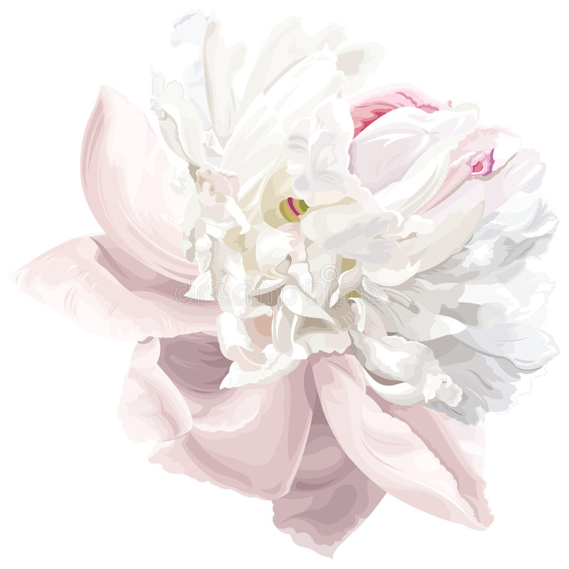 kwiatu peoni biel royalty ilustracja