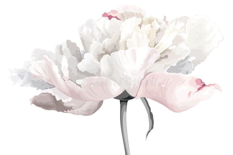 kwiatu peoni biel ilustracja wektor