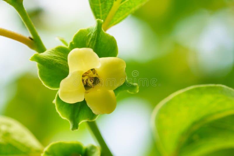 Kwiatu persimmon lat Hebany na gałąź fotografia stock