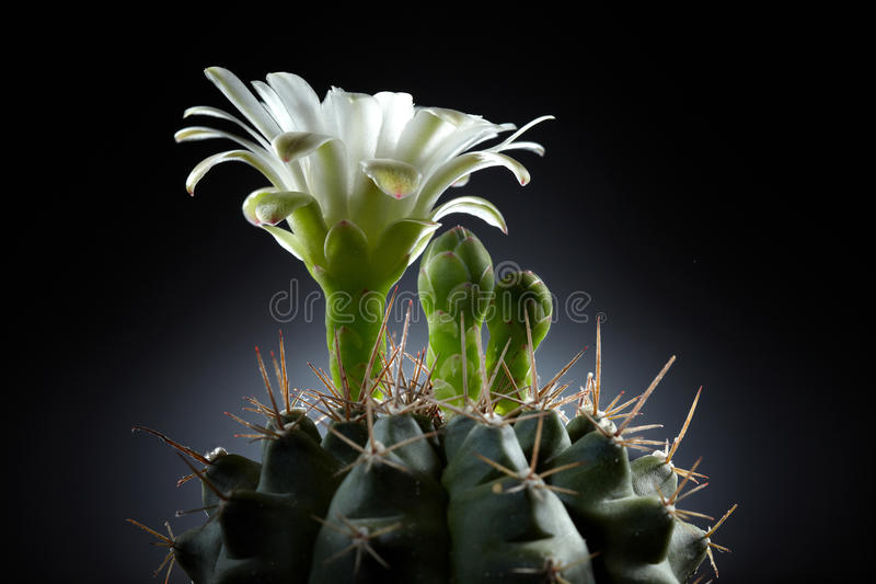 kwiatu piękny kaktusowy biel zdjęcia stock