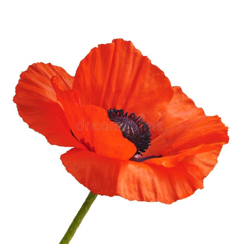 kwiatu piękny maczek zdjęcie stock