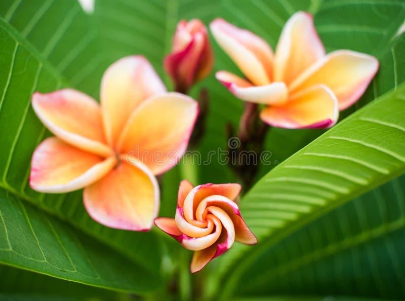 Kwiatu Plumeria w wieczór zdjęcie royalty free