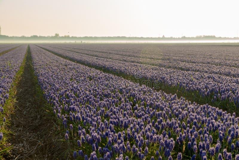 Kwiatu pole błękitni winogrona w ranku słońcu obrazy royalty free