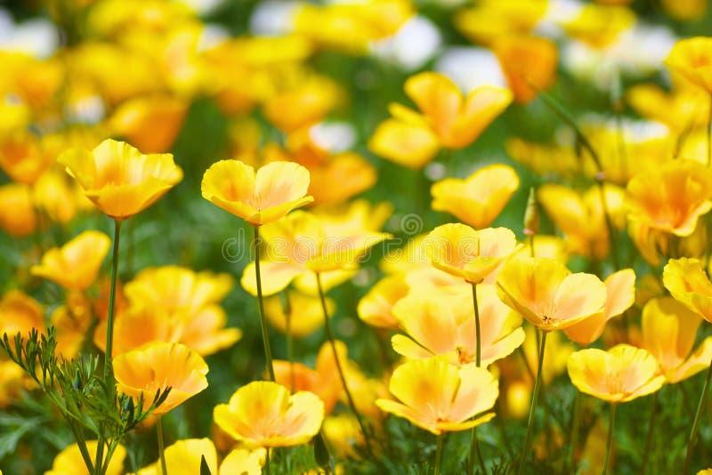 Kwiatu pole Kalifornia maczek obraz stock