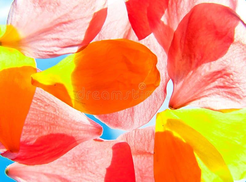 kwiatu pomarańczowy płatków kolor żółty zdjęcie stock