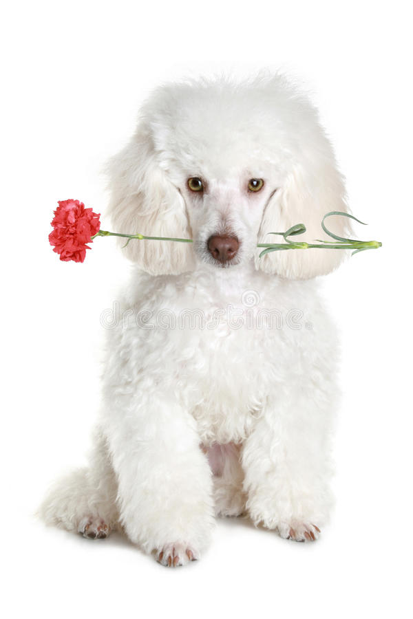 kwiatu pudla szczeniaka czerwony biel obrazy stock