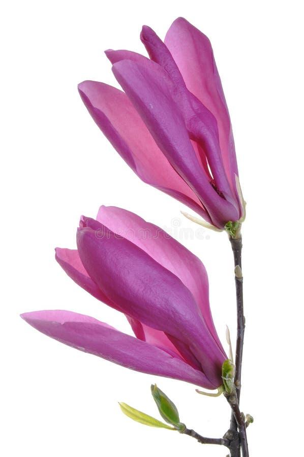 kwiatu purpur wiosna zdjęcia stock