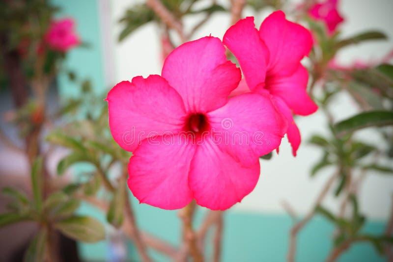 Kwiatu Różowy Adenium pustynia rose obrazy stock