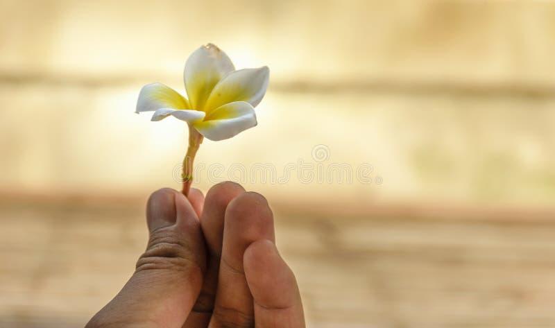 kwiatu ręki mienia plumeria obraz royalty free
