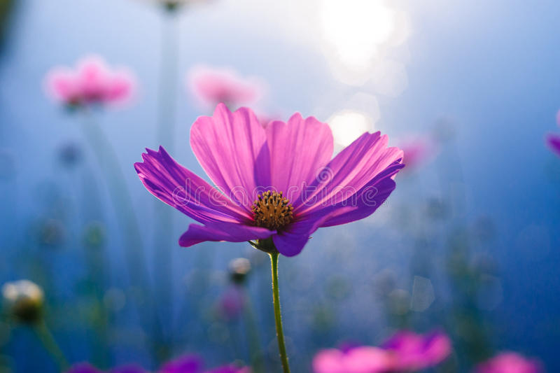 Kwiatu rimlight zdjęcie royalty free