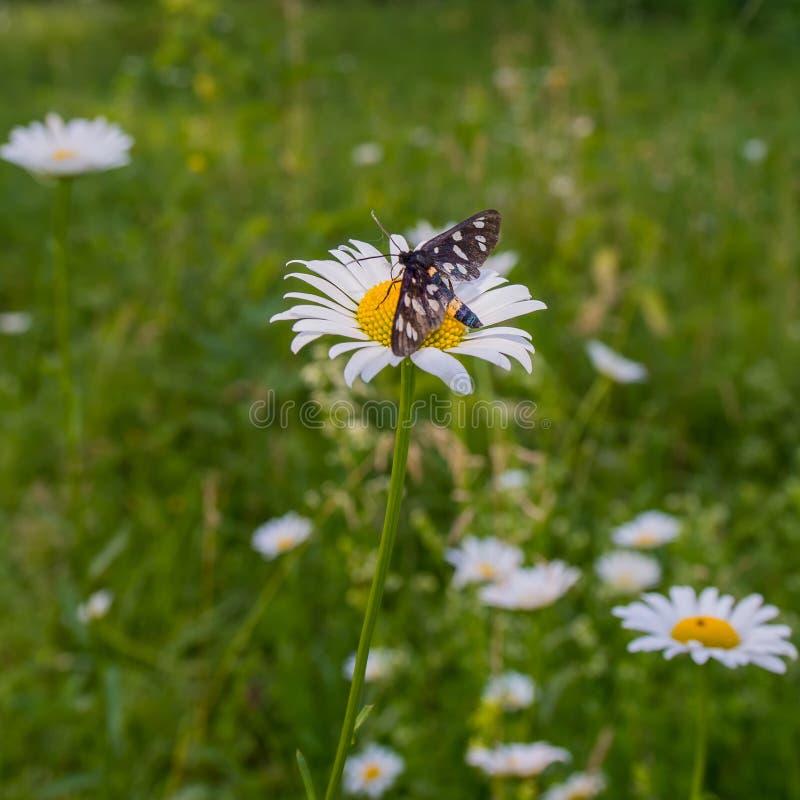 KWIATU rumianku motyl NA BRAKUJĄCEJ zieleni BACKG I łąka obrazy royalty free