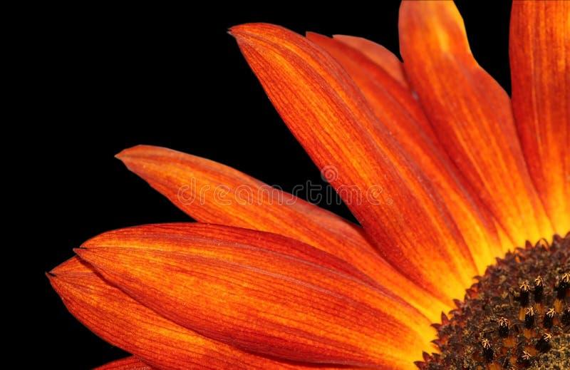 kwiatu słońce obraz royalty free