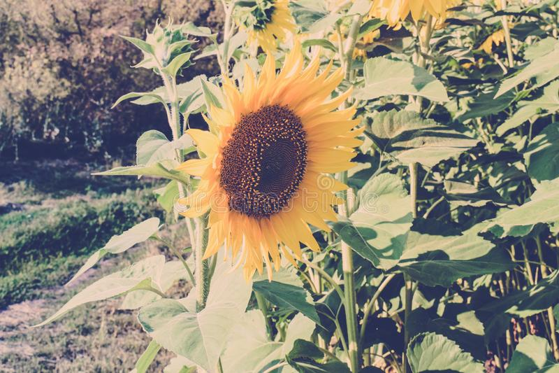 Kwiatu s?onecznik S?onecznikowy kwitnienie Pola s?oneczniki zdjęcia royalty free