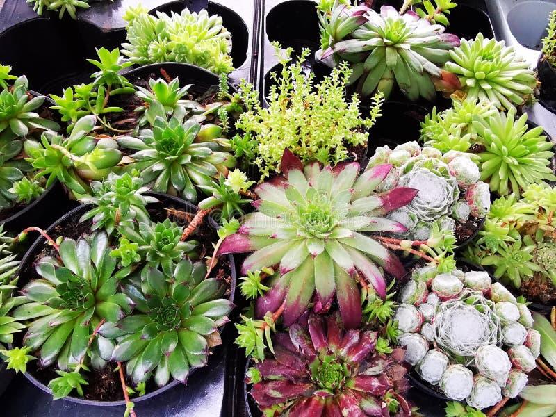 Kwiatu Sempervivum tectorum - odwiecznie zielne rośliny zdjęcie stock