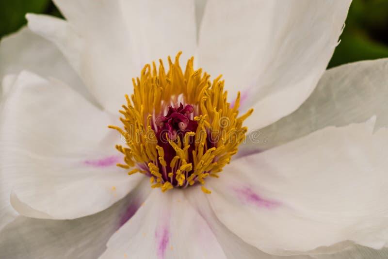 Kwiatu stamen obraz royalty free