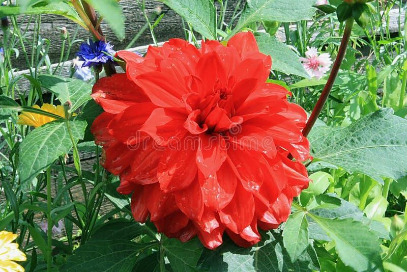 kwiatu szkarłat obrazy stock