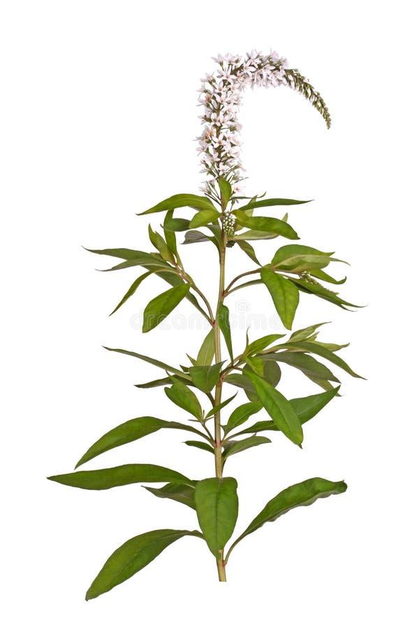 Kwiatu trzon i liście gooseneck loosestrife obrazy stock