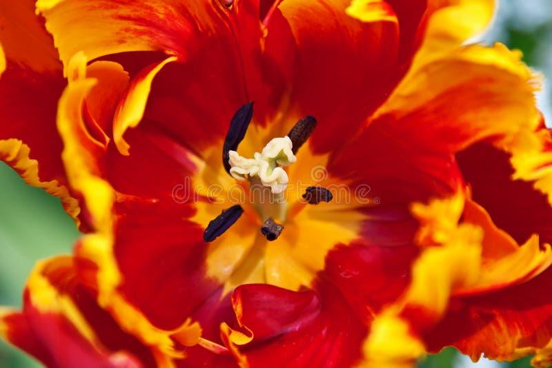 kwiatu tulipan fotografia royalty free