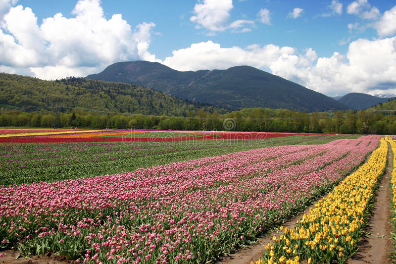 kwiatu tulipan zdjęcia royalty free