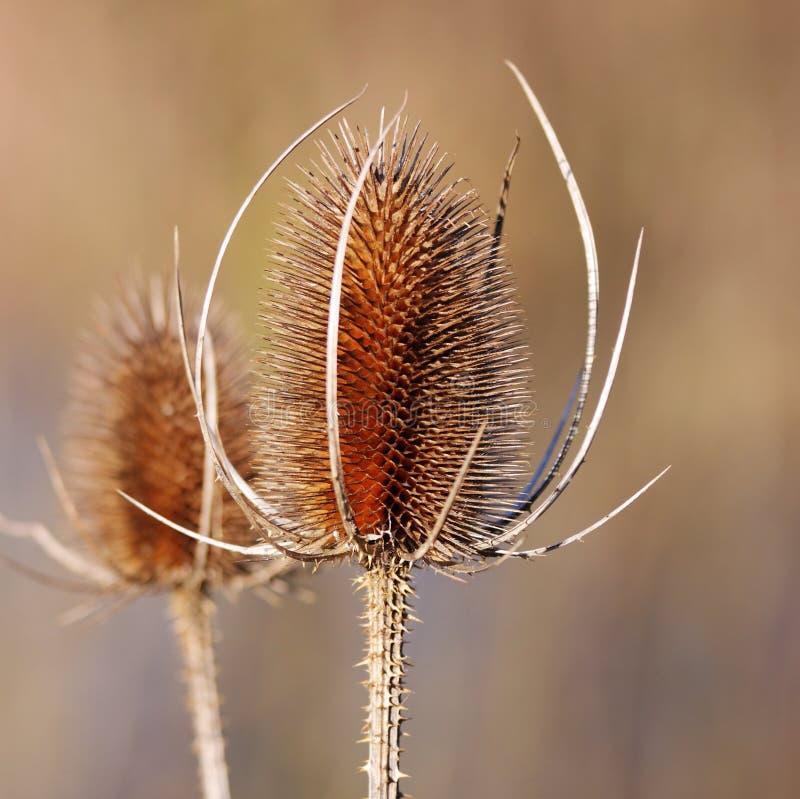 kwiatu wysuszony oset fotografia stock