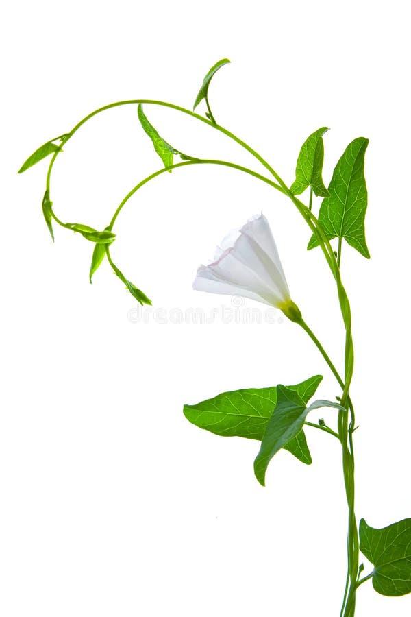 kwiatu zieleni liść rośliny biel zdjęcie royalty free