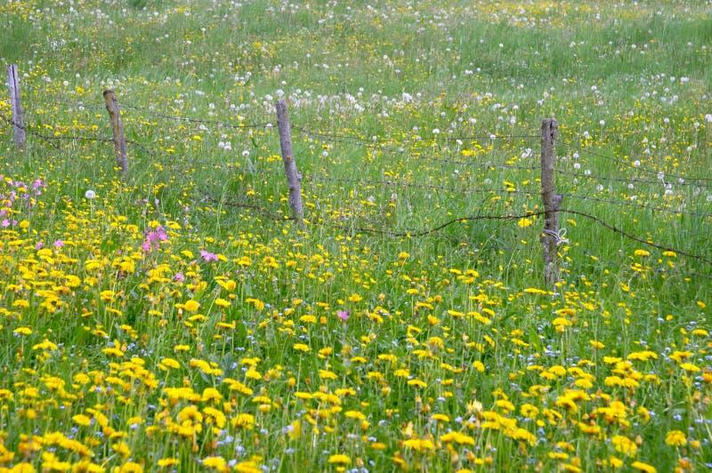 kwiaty łąkowego żółty zdjęcia stock