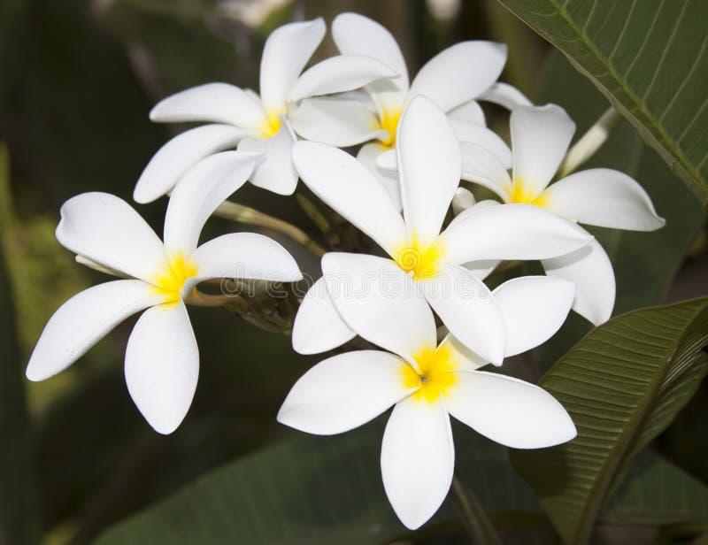 Kwiaty śliwkowe zdjęcie stock