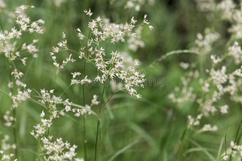 Kwiaty śnieżnobiałe kosmatek rośliny, Luzula nivea zdjęcia stock