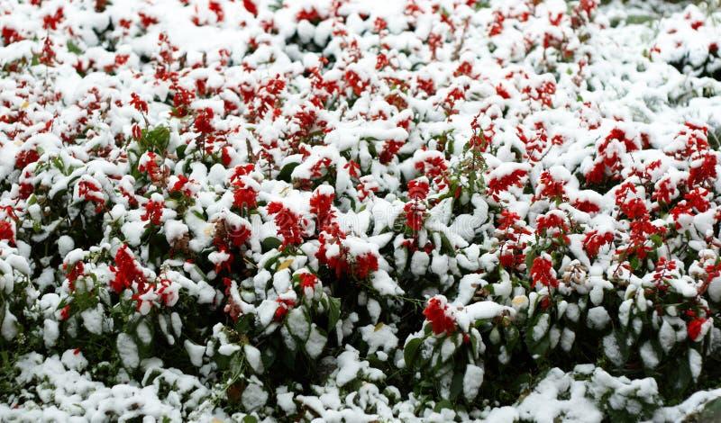 kwiaty śnieg obraz stock