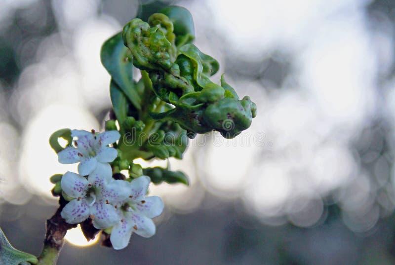 Kwiaty śpiczasty boobialla Myoporum acuminatum obraz royalty free
