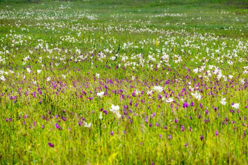 Kwiaty Alpejskie łąki pogórza Kaukaz obraz stock