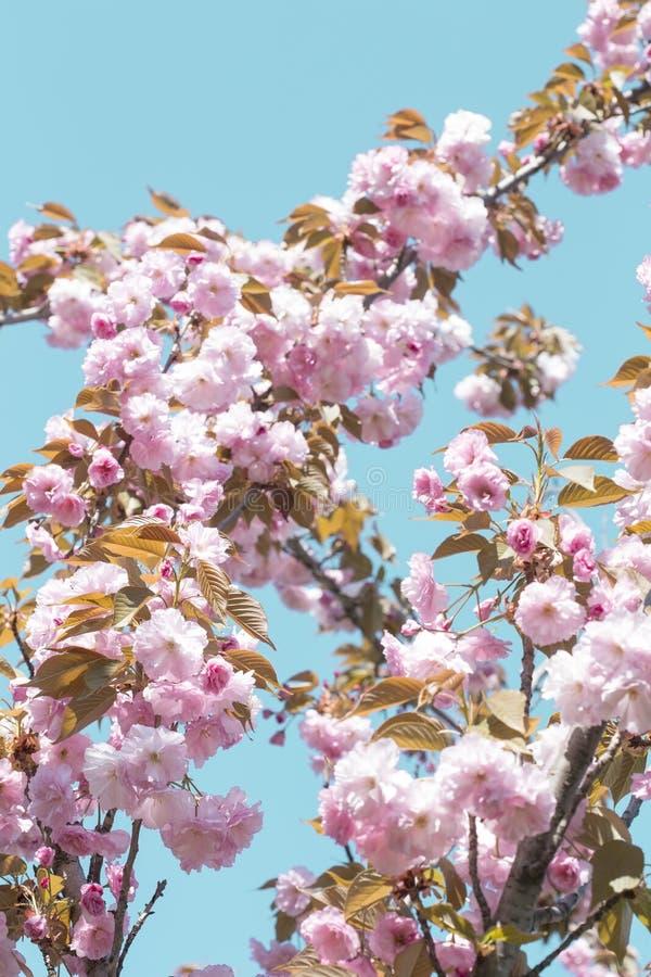 kwiaty azalii blisko dof p?ytkie pojawi si? kwiat zdjęcie stock