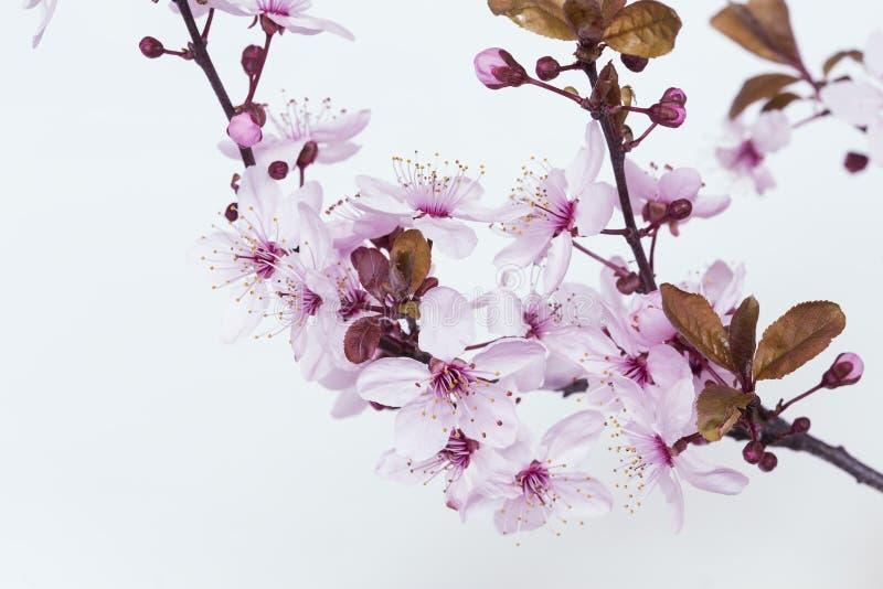 kwiaty azalii blisko dof p?ytkie pojawi si? kwiat obraz royalty free