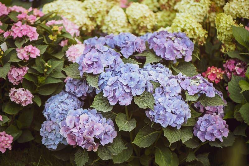 Kwiaty błękitni i różowe hortensje w ogródzie, stonowany, elegancki p, fotografia stock