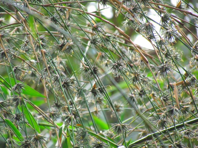 Kwiaty bambus, ja umiera Gdy bambusowy kwiecenie kończy, fotografia royalty free