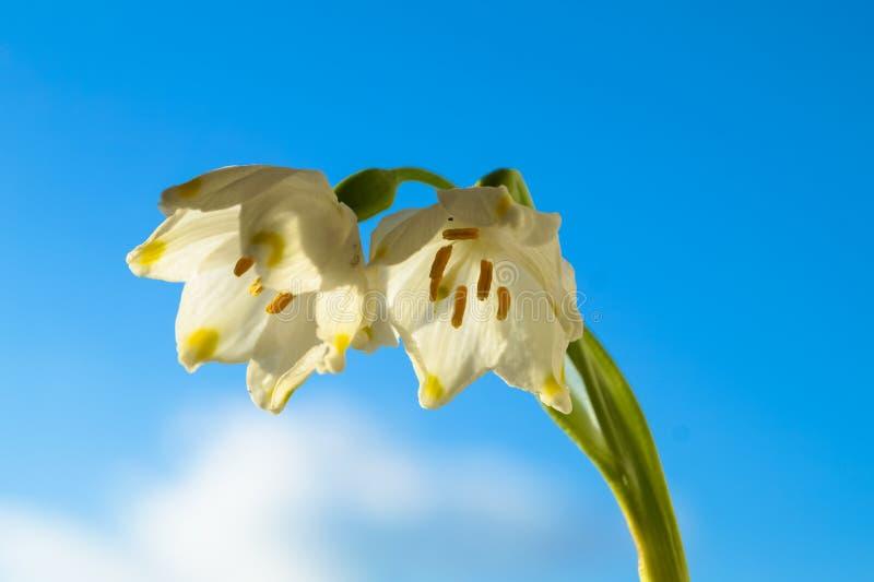kwiaty biała śnieżyczka przeciw niebu obrazy stock