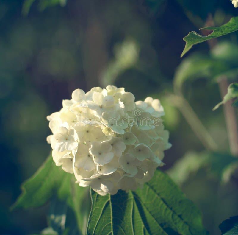 Kwiaty biały viburnum jak piłki, przeciw tłu krzak w wieczór zmierzchu zdjęcie stock