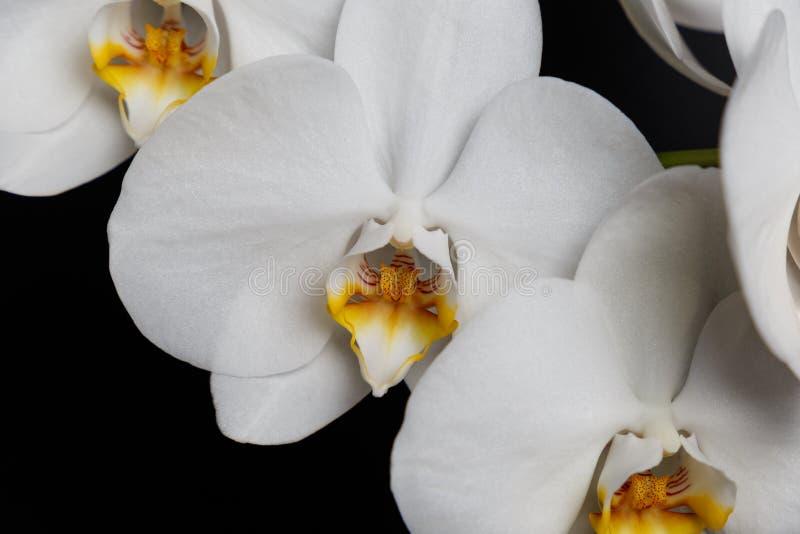 Kwiaty bia?a orchidea odizolowywaj?ca na czarnym tle obraz royalty free