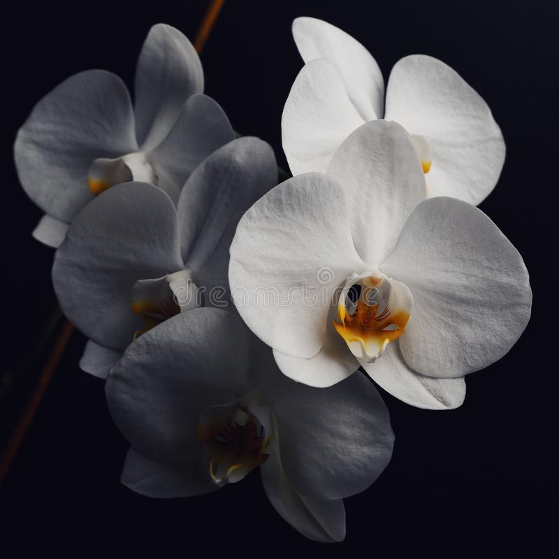 Kwiaty bia?a orchidea odizolowywaj?ca na czarnym tle zdjęcie royalty free