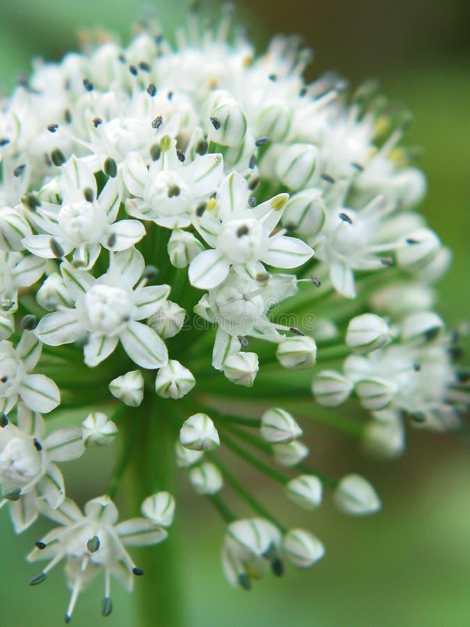kwiaty blisko cebulę w bieli obraz stock