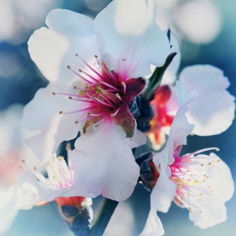 Kwiaty brzoskwini drzewo zdjęcia royalty free