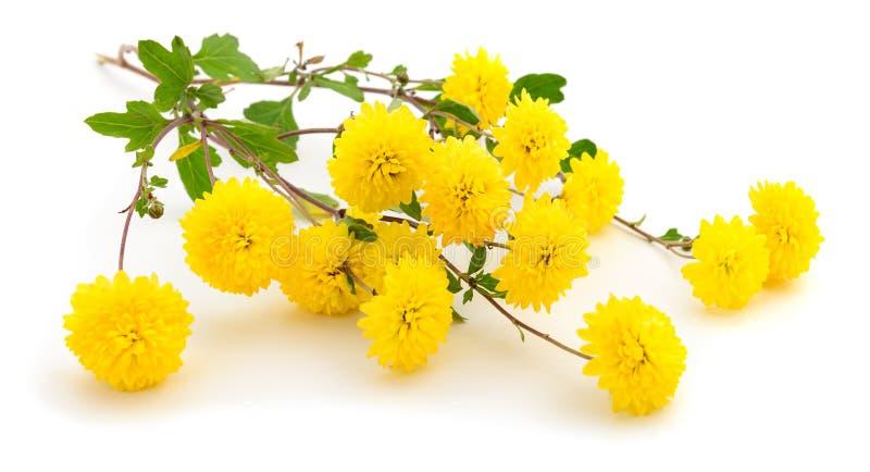 Kwiaty chryzantema obrazy stock
