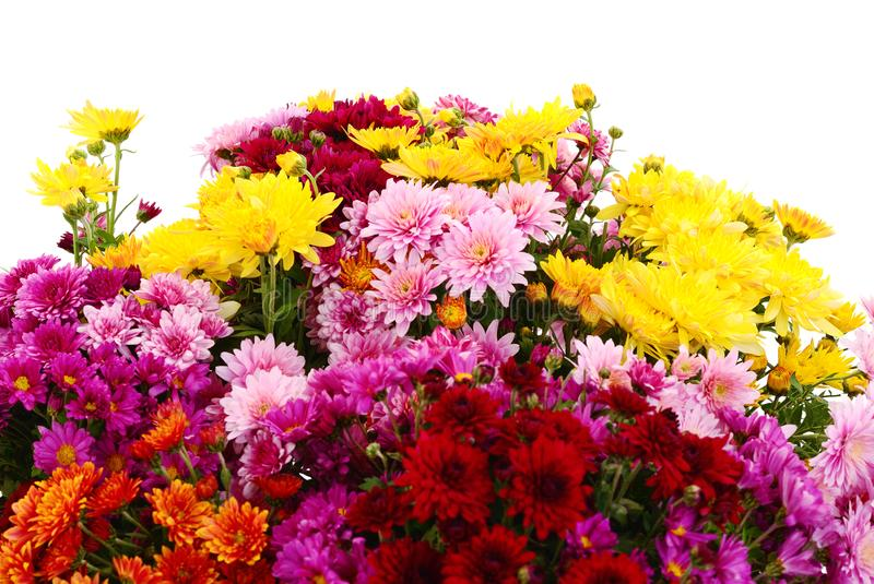 Kwiaty chryzantema zdjęcia stock