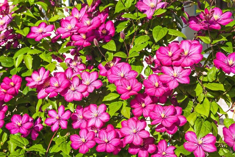 kwiaty clematis gradientowego wektora obraz royalty free